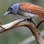 koh-chang-bird-watching